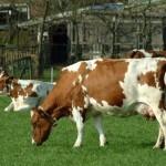 Random image: vacas-2