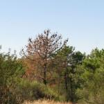 Random image: sintomas nematodo pinheiro