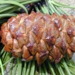 Random image: Pinus pinaster