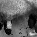 Random image: tetos vaca b/n