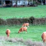 Random image: vacas - autora orvalho